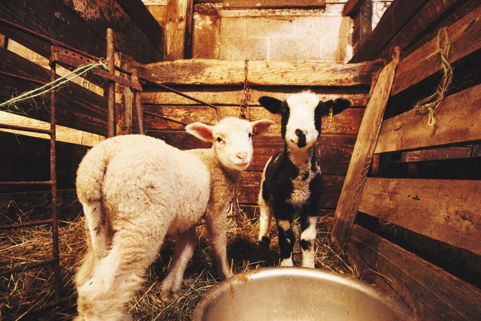 apple hill baby lambs